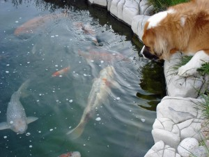 checking out the koi